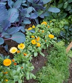 Many beginner gardeners also don't realize how beneficial to your vegetable and herbs Companion Gardening is; many flowers keep away pests, and worms.