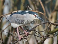 New image @ Mstock.dk Black-crowned night heron (Nycticorax nycticorax) http://www.mstock.dk/media.details.php?mediaID=3375
