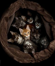 8 Super cute kittens looking up from their cat bed (hva)