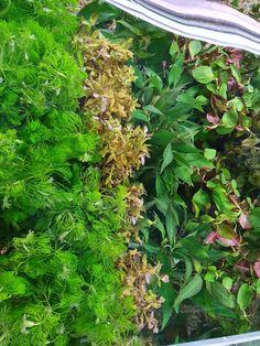 Hurstville Aquarium  Needed plants? We've restock here!  They're beautiful aren't they!   Hurstville Aquarium  Local Aquarium Store