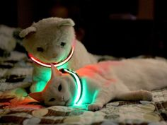 Illuminated Pet Collar   Bagmyitems  #Pets #Products #PetSupplies #Funny #dogs #cats  Source: http://bagmyitems.com/product/illuminated-pet-collar-large