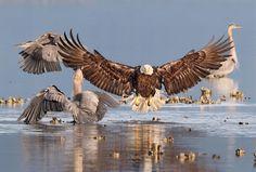 Deze Amerikaanse zeearend maakt met zijn aankomst nogal wat indruk op de Amerikaanse blauwe reigers om hem heen. Bonnie Block won met deze prachtige actiefoto de Audubon Photography Award 2016.