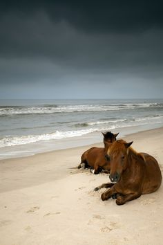 Ponies, beach, brown