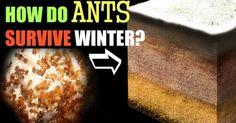 Im Gegensatz zu vielen Wespen- und Bienenarten überwintern bei Ameisen nicht nur die Königinnen, sondern auch die Arbeiterinnen und oft auch die Larven. Dies geschieht indem Körperflüssigkeiten eingedickt werden um ihren Gefrierpunkt herabzusetzen. Die Winterruhe findet Ende September-Anfang Oktober statt und dauert ca. 5-6 Monate