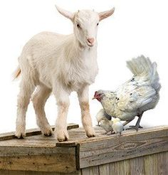 With a goat, 2 hens and a rooster, you'll help provide eggs, milk and cheese for years to come: https://catalogue.worldvision.ca/collections/animals/products/3319 #MeaningfulGifts