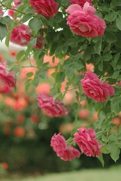 flowersgardenlove:  Roses of May. Flowers Garden Love