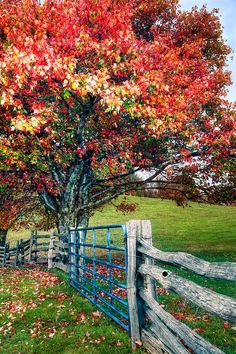 Blue Ridge - Fall Colors - Autumn Maple Tree Fence Gate II by Dan Carmichael - Blue Ridge - Fall Colors - Autumn Maple Tree Fence Gate II Painting - Blue Ridge - Fall Colors - Autumn Maple Tree Fence Gate II Fine Art Prints and Posters for Sale Beautiful World, Beautiful Places, Beautiful Farm, Fence Gate, Rail Fence, Fencing, Blue Ridge, Farm Life, Belle Photo