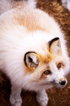 """Sun Glow aka Red Marble Fox photo   Red fox with marble mutation.  Silver marbles are called """"arctic marble"""" but these are Vulpes vulpes."""