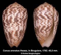 Image result for conus arenatus seashell