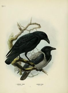 Carrion Crow + Hooded Crow, A History of the Birds of Europe, H.E. Dresser, 1871-1881. Biodiversity Heritage Library