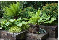 Green and yellow border in railway sleeper raised beds - Dicksonia antartica, Eu. - Green and yellow border in railway sleeper raised beds – Dicksonia antartica, Euphorbia mellifera - Ferns Garden, Shade Garden, Garden Path, Lush Garden, Garden Planters, Water Garden, Back Gardens, Small Gardens, Courtyard Gardens
