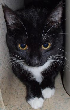 Phoebe is available for adoption from the Humane Society of Wilkes in North Wilkesboro, North Carolina.