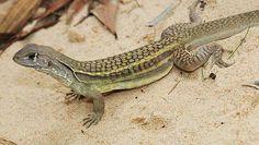 lagartos - Buscar con Google