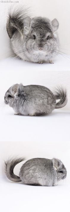 Standard ( Violet Carrier ) CCCU Royal Persian Angora Female Chinchilla
