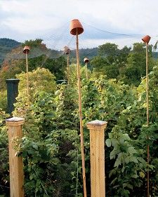 How to Protect Berry Bushes from Birds -- Whether they're from the North or South, birds love Alabama's state fruit, blackberries. If they're enjoying yours before you get the chance, set up this low-tech line of defense: Drive bamboo stakes into the gro Berry Garden, Plants, Fruit Trees, Fruit Garden, Berry Bushes, Blueberry Bushes, Outdoor Gardens, Garden, Garden Pests