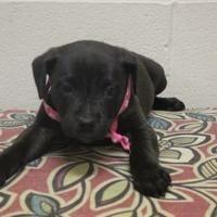 Cleveland, Alabama - Labrador Retriever. Meet 37511486, a for adoption. https://www.adoptapet.com/pet/20423227-cleveland-alabama-labrador-retriever-mix
