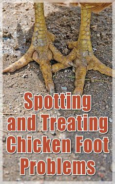 Building A Chicken Coop 790452172080900197 - A Guide to Recognizing and Treating Chicken Foot Problems – Backyard Poultry Source by Chicken Coup, Best Chicken Coop, Chicken Coop Plans, Building A Chicken Coop, Diy Chicken Feeder, Urban Chicken Coop, Backyard Poultry, Backyard Chicken Coops, Chickens Backyard