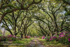 Hey, I found this really awesome Etsy listing at https://www.etsy.com/listing/202230918/south-carolina-live-oaks-and-azaleas