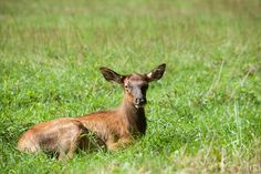 Baby Elk in the Smoky mountains