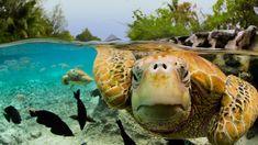 Having a look see - Green sea turtles in Tahiti