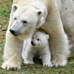 This little Polar Bear cub emerged from the birthing den to explore her tundra habitat under the watchful eye of her mother at Munich Zoo Hellabrunn.  Full story at ZooBorns.com and at http://www.zooborns.com/zooborns/2017/03/polar-bear-cub-emerges-from-den-and-explores-everything.html
