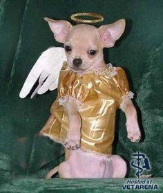 Chihuahua in custome - funny dog photo