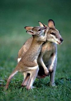 Kangaroo mom and baby   | mothers and babies | | wild life | #animals #wildlife  https://biopop.com/