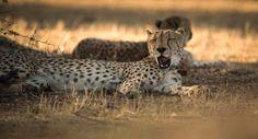 Up close with cheetahs at Okonjima ©Anja Denker