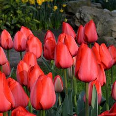 A pure red tulip with giant flowers on tall stems is what everybody wants in spring. Tulip Red Impression is available from DutchGrown at wholesale pricing. We ship our Red Impression Tulip Flower Bulbs for Fall delivery in time for Fall planting. Parrot Tulips, Red Tulips, Tulips Flowers, Cut Flowers, Best Perennials, Anniversary Flowers, Oriental Lily, Tulip Bulbs