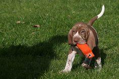 Bracco Italiano Puppy-test #mydogspace