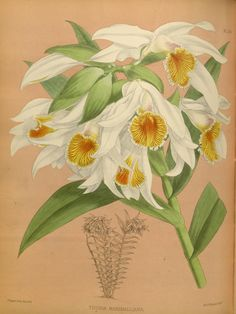 1884 - Orchid album : - Biodiversity Heritage Library