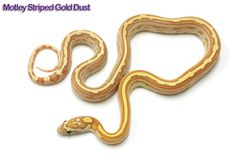 Corn Snake, Beautiful Snakes, Noodle, Pine, Lavender, Animals, Pine Tree, Noodles, Animales