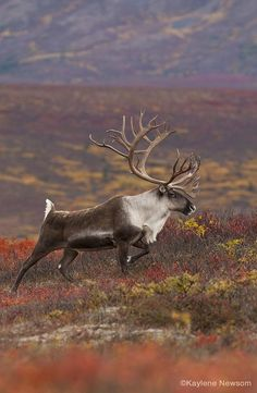 Lead caribou on autumn tundra, Denali. (Kaylene Newsom)