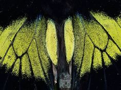 Moth Wings  Photograph by Mattias Klum    A moth's wings appear iridescent when photographed close-up in the Danum Valley Conservation Area in Sabah, Malaysia.