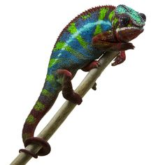 Ambilobe Sinister - a panther chameleon