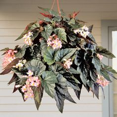 """""""Angel Wing"""" begonia 'Kay Slowey' is an outstanding low-growing compact begonia with deep charcoal-green leaves and clusters of luminous pink blooms. Its mounding habit makes it perfect for limited space and it shows well in a hanging basket or pot. Under the higher light of summer, 'Kay Slowey' is a non-stop bloomer.        Partial sun, grows to 12"""" in container."""