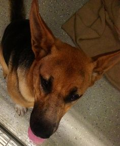#FOUNDDOG 9-6-13 #DETROITLAKES #MN #GERMANSHEPHERD DOG #GSD FEMALE BLACK WITH TAN 1 YEAR OLD NO ID 218-847-9040  https://www.facebook.com/LDoMN/posts/10151675699813303:0
