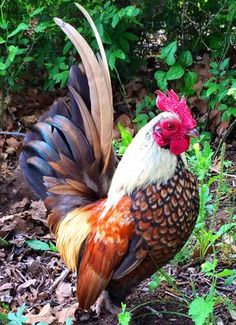 I have been raising these birds for 3 years and have established a nice flock. I will have both hens and roosters for sale from time to time. Email would like a price Bantam Chickens, Chickens And Roosters, Pet Chickens, Raising Chickens, Pretty Birds, Beautiful Birds, Animals Beautiful, Rooster Painting, Rooster Art