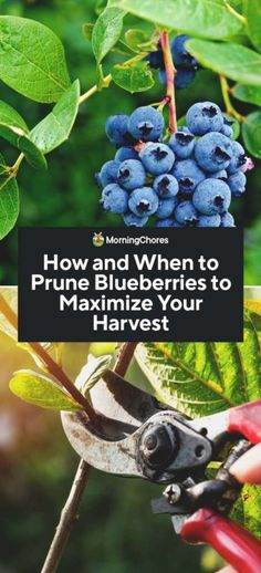 Pruning your blueberries is an essential element for raising healthy plants. The right pruning will make your blueberries healthier and more productive. Growing Blueberries, Growing Fruit Trees, Wild Blueberries, Growing Herbs, Growing Rhubarb, Blueberry Fertilizer, Pruning Blueberry Bushes, Fruit Bushes, Fruit Plants
