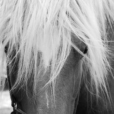 Black and white head shot of a Comtois mare.