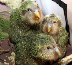 The oddball kakapo. This endangered parrot smells funny, can't fly and takes courtship seriously.