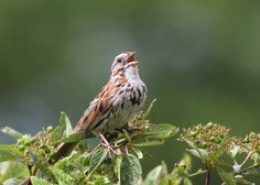 Song Sparrow (Melospiza melodia) Eastern form in full song