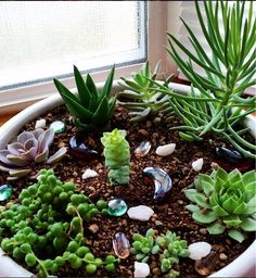 "succulentsforever: "" My windowsill succulents :) (Thanks for the lovely submission, topazaz94!) """