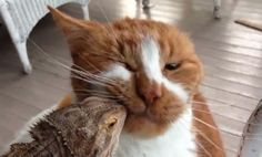 Content Cat Nuzzles Bearded Dragon (Video)
