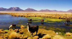En la región de Arica y Parinacota se encuentra la Reserva Nacional Las Vicuñas, ubicado en la precordillera y el altiplano andino, donde en...