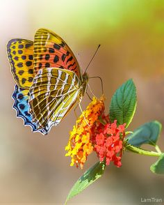 ~~Butterfly on Lantana by Tran Lam~~ Where else can you blend outstanding colors beside mother nature. Avon has awesome color to match those of mother nature Más Beautiful Bugs, Beautiful Butterflies, Beautiful World, Simply Beautiful, Butterfly Kisses, Butterfly Flowers, Rainbow Butterfly, Butterfly Photos, Beautiful Creatures