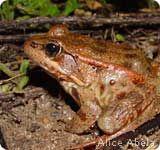Profiles of North American Wildlife: California Red-legged Frog