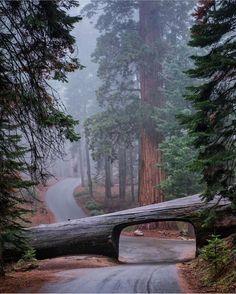Redwood Forest, California, USA #roadtrip