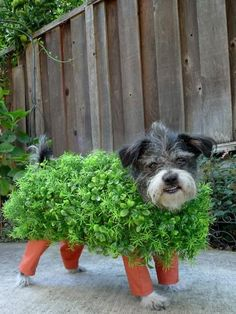 Chia pet DIY dog costume, see more at http://diyready.com/diy-dog-costume-ideas-halloween-fun-for-your-pooch