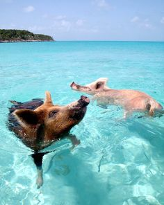 Swimming Pigs in the Bahamas, Exuma Pig Beach Bahamas, Bahamas Pigs, Exuma Bahamas, Funny Animal Pictures, Cute Funny Animals, Cute Baby Animals, Swimming Pigs Exuma, Pig Island, Cute Piglets